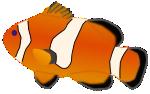 Aquarium fish - Amphiprion percula