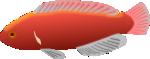 Aquarium fish - Cirrhilabrus jordani