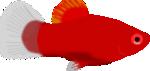 Aquarium fish - Xiphophorus maculatus